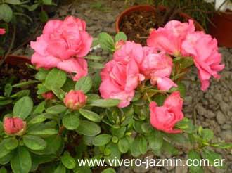 Azalea cuidados exterior - Azalea cuidados planta ...