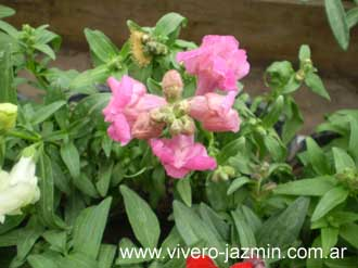 Falso jazmin hojas rojas callistemon citricus with falso for Jazmin planta precio
